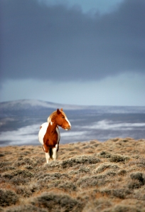 A painted mustang catches a sliver of sunshine along the plateau near the Red Desert's Adobe Town area, Monday, March 24, 2008, and serves as the subject of a simple portrait of an animal at home in its environment. The Bureau of Land Management estimates there are about 5,000 wild horses in Wyoming, many of which live in the Red Desert.