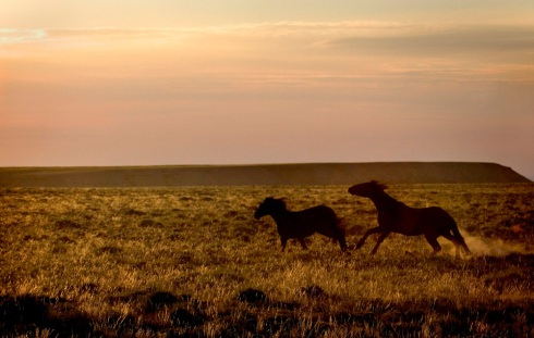 Two wild horses kick up a frenzy in the crisp morning light. The Red Desert is home to thousands of mustangs, an iconic and often controversial symbol of the Old West. Mustangs have increasingly been in the spotlight because of their potential impact on habitat and the debate over how to manage their population. (Photo/Morgan E. Heim)